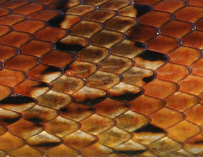corn-snake-scales